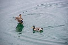 Ζεύγος παπιών σε μια λίμνη στοκ φωτογραφία