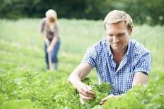 Ζεύγος που εργάζεται στον τομέα στο οργανικό αγρόκτημα Στοκ φωτογραφία με δικαίωμα ελεύθερης χρήσης