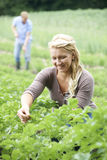 Ζεύγος που εργάζεται στον τομέα στο οργανικό αγρόκτημα Στοκ Εικόνα