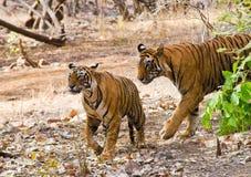 Ζεύγος τιγρών στοκ φωτογραφίες