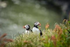 Ζεύγος του ατλαντικού arctica Fratercula puffins κοντά σε Dyrholaey Στοκ εικόνες με δικαίωμα ελεύθερης χρήσης