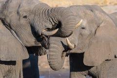 Ζεύγος του αφρικανικού ελέφαντα, νέος και ενήλικος, στο waterhole Σαφάρι άγριας φύσης στο εθνικό πάρκο Chobe, προορισμός ταξιδιού στοκ φωτογραφία με δικαίωμα ελεύθερης χρήσης