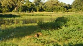 Ζεύγος του λιονταριού πλησίον στη λιμνοθάλασσα στοκ φωτογραφίες