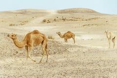 Ζεύγος του οικογενειακού περιπάτου δύο καμηλών μαζί μέσω της ερήμου Στοκ Εικόνες