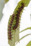 Ζεύγος του τριχωτού Caterpillar στην ίδια πράσινη άδεια Στοκ φωτογραφία με δικαίωμα ελεύθερης χρήσης
