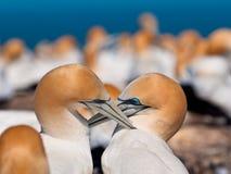Ζεύγος του φλερταρίσματος gannets στην αποικία Νέα Ζηλανδία Στοκ Φωτογραφία