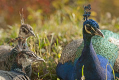 Ζεύγος του peacock Στοκ Εικόνα