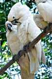 Ζεύγος των άσπρων παπαγάλων Cockatoo στοκ φωτογραφία