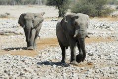 Ζεύγος των ελεφάντων στο εθνικό πάρκο Etosha, Ναμίμπια Στοκ Φωτογραφία
