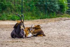 Ζεύγος των κοκκωδών αντιλοπών μαζί, αρσενική και θηλυκή αντιλόπη, τροπικό ζωικό specie από την Αφρική στοκ εικόνες