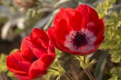 Ζεύγος των κόκκινων λουλουδιών anemone στον κήπο Στοκ εικόνες με δικαίωμα ελεύθερης χρήσης