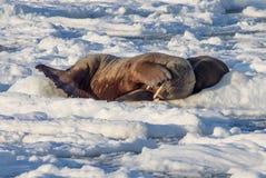 Ζεύγος των οδόβαινων στον πάγο - Αρκτική, Spitsbergen Στοκ Εικόνες