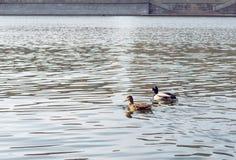 Ζεύγος των παπιών Στοκ φωτογραφίες με δικαίωμα ελεύθερης χρήσης