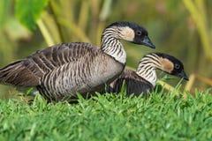 Ζεύγος των χήνων kauai Χαβάη nene Στοκ φωτογραφίες με δικαίωμα ελεύθερης χρήσης