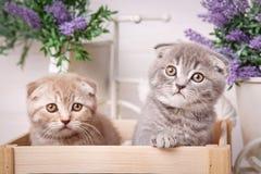 Ζεύγος των χαριτωμένων γατών σε ένα ξύλινο κιβώτιο Lavender λουλούδια στο υπόβαθρο Στοκ Εικόνα