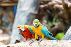 Ζεύγος των macaws Στοκ φωτογραφία με δικαίωμα ελεύθερης χρήσης