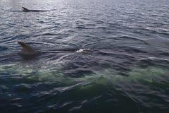 Ζεύγος των minke φαλαινών Στοκ εικόνες με δικαίωμα ελεύθερης χρήσης
