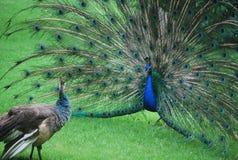 Ζεύγος των peacocks στο parc στην Πόλη του Μεξικού Στοκ Φωτογραφίες
