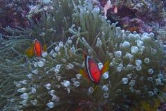 Ζεύγος ψαριών κλόουν Στοκ Φωτογραφίες