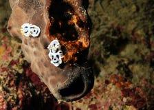 Ζεύγος Dianae Chromodoris στοκ εικόνα