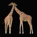 Ζεύγος giraffes Στοκ εικόνα με δικαίωμα ελεύθερης χρήσης