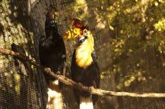 ζεύγος hornbill με εξογκώματα Στοκ Εικόνες