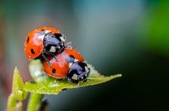 Ζεύγος Ladybug στο πράσινο φύλλο, μακρο στενός επάνω Στοκ φωτογραφία με δικαίωμα ελεύθερης χρήσης