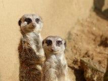 Ζεύγος Meerkats που κοιτάζει στη κάμερα Στοκ Φωτογραφία