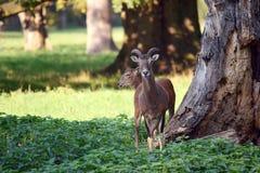 Ζεύγος Mouflons στο δάσος στοκ φωτογραφία με δικαίωμα ελεύθερης χρήσης