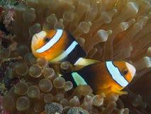 Ζεύγος Nemo που αντιμετωπίζει απέναντι από την κατεύθυνση Στοκ εικόνα με δικαίωμα ελεύθερης χρήσης