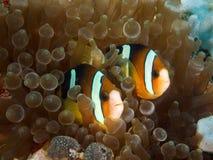Ζεύγος Nemo Στοκ φωτογραφίες με δικαίωμα ελεύθερης χρήσης