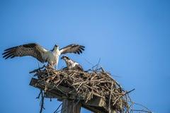 Ζεύγος 4567 Osprey στοκ φωτογραφίες