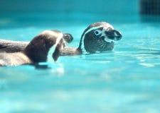 Ζεύγος Penguin που κολυμπά - Πεκίνο στοκ φωτογραφία με δικαίωμα ελεύθερης χρήσης