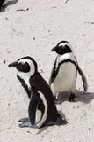 ζεύγος pinguins Στοκ φωτογραφία με δικαίωμα ελεύθερης χρήσης