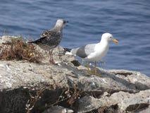 Ζεύγος Seagulls, του ενός ενήλικα και του άλλου νεοσσού στοκ εικόνες