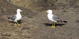Ζεύγος seagulls στοκ φωτογραφία