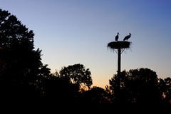 Ζεύγος Storch Στοκ Εικόνες