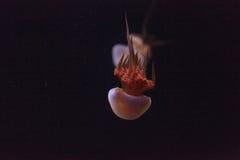 Ζελατίνα φλογών, Rhopilema esculentum Στοκ φωτογραφίες με δικαίωμα ελεύθερης χρήσης