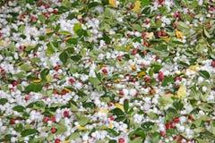 Ζημία πάγου χαλαζιού σε ένα δέντρο της Apple καβουριών Στοκ εικόνες με δικαίωμα ελεύθερης χρήσης