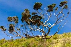 Ζημία Possum σε ένα δέντρο Ένα Pohutukawa στο Russell, Νέα Ζηλανδία στοκ εικόνα