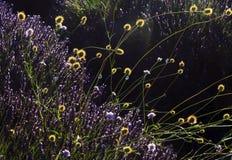 Ζιζάνια με τα κεφάλια σπόρου λουλουδιών και σαλιγκάρια που αυξάνονται Lavender Στοκ εικόνες με δικαίωμα ελεύθερης χρήσης