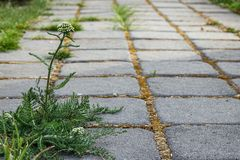 Ζιζάνια που αυξάνονται μεταξύ των πετρών επίστρωσης τούβλου στον κήπο στοκ φωτογραφίες