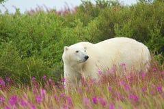 Ζιζάνιο 2 πολικών αρκουδών και πυρκαγιάς Στοκ εικόνες με δικαίωμα ελεύθερης χρήσης