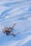 Ζιζάνιο στο πεδίο χιονιού Στοκ φωτογραφία με δικαίωμα ελεύθερης χρήσης