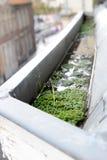 ζιζάνιο υδρορροών Στοκ Εικόνες