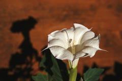 Ζιζάνιο Jimson - datura stramonium στοκ φωτογραφία