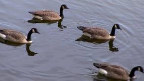 Ζουμ μέσα στις πάπιες που κάθονται σε μια λίμνη βουνών το φθινόπωρο απόθεμα βίντεο