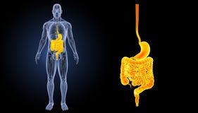 Ζουμ στομαχιών και εντέρων με την προηγούμενη άποψη ανατομίας Στοκ Φωτογραφίες