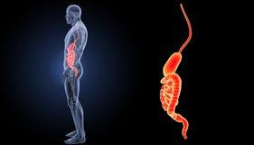 Ζουμ στομαχιών και εντέρων με την πλευρική άποψη ανατομίας Στοκ Εικόνα