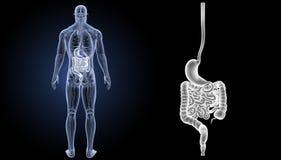 Ζουμ στομαχιών και εντέρων με τη μεταγενέστερη άποψη ανατομίας Στοκ Εικόνες